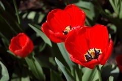 Three red tulips . Stock Image