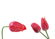 Three red tulips on a white background Stock Photo