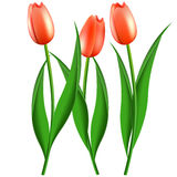 Three red tulips. On a white background Stock Photography