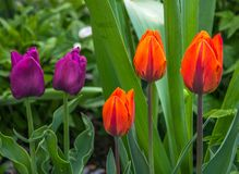 Three red and two purple tulips on a green background close-up stock photos