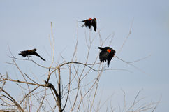 Three Red-Winged Blackbirds Taking to Flight Royalty Free Stock Photo