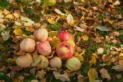 Apples stacked in a pile on the ground in the garden Royalty Free Stock Photos