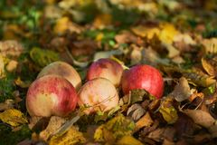 Apples stacked in a pile on the ground in the garden Royalty Free Stock Image