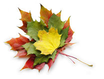 Three red yellow green maple leaves on white. Three red yellow green maple autumn leaves on white stock images