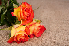 Three red-yellow roses. In a top of jute cloth Royalty Free Stock Images