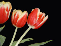 Three Red and Yellow Tulips. Isolated on a black background Stock Photography