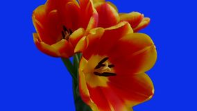 Three red-yellow tulips bloom on a blue background stock video footage