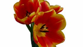 Three red-yellow tulips bloom on a white background stock footage