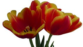 Three red-yellow tulips bloom on a white background. Isolated stock video
