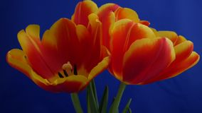 Red-yellow tulips blooming on a blue background. Time lapse video stock footage