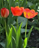 Three red and yellow tulips Royalty Free Stock Photography