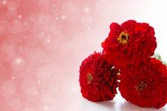 Three red zinnias Stock Photos