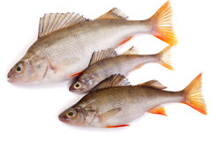 Three redfish Stock Images