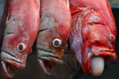 Three redsnepper pink and red fish with his mouth wide open, at the left mouth fish sticks big white bubble, sea food for Royalty Free Stock Photography
