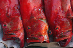 Three redsnepper red fish with his mouth wide open, lying on the tray for sale, fish in the left two strange eyes, modern style ad Stock Photos