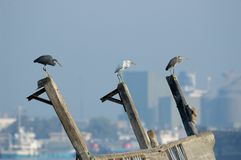 Three Reef Egrets on modern city background Stock Images