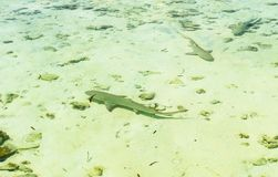 Three reef shark swims in transparent water of Indian ocean royalty free stock photography