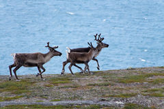 Three reindeer in the wild. Some reindeer walking up a hill in the wild in sarek Royalty Free Stock Photo