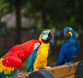 Three rescued parrots perched on a bench in a park. A scarlet macaw, blue-gold maacaw and a hyacinth macaw, three rescued parrots perched on a bench in a Stock Photo