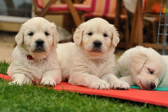 Three restin golden retriever puppies on garden. From front look Royalty Free Stock Images
