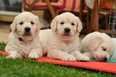 Three restin golden retriever puppies on garden Royalty Free Stock Images