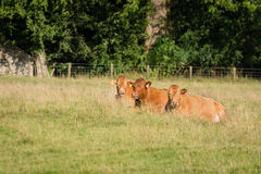 Three resting cows Stock Photos