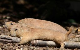 Three resting prairie dogs Stock Image