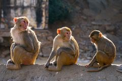 Three rhesus macaque monkeys Royalty Free Stock Photo