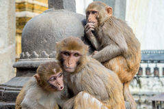 Three Rhesus Macaque Monkeys Royalty Free Stock Images