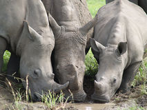 Three Rhino drinking from a puddle Royalty Free Stock Photography