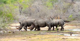 Three Rhinoceros drinking during a drought. In Kruger National Park, South Africa stock photos