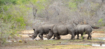 Three Rhinoceros looking for water during a drought. Royalty Free Stock Photos