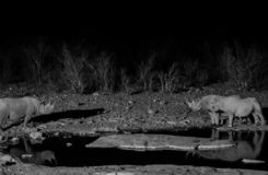 Three rhinoceros at waterhole during the evening. Three rhinoceros drinking water during the evening. Location Namibia, Africa. Black and white royalty free stock images