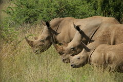 Three rhinoceroses in savanna. Stock Photo