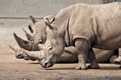 Three rhinos at Knowsley Safari Park, UK Stock Images