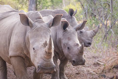 Three rhinos Royalty Free Stock Image