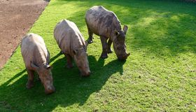 Three rhinos. Rhinoceros rhino grazing three baby grass young South Africa Stock Images