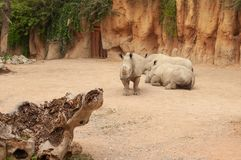 Three rhinos in the zoo. Rhinoceros standing in front of two lying rhinos. Daytime stock photos