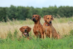 Three rhodesian ridgeback dogs. In grass Stock Photo