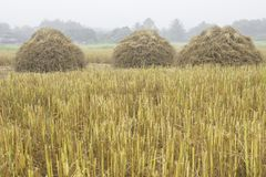 Three rice straw piles shine up and waiting for harvesting the rice grain Stock Photo
