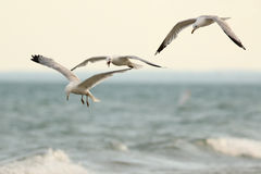 Three Ring Billed Gulls in Flight. Three Ring-billed Gulls (Larus delawarensis) flying over the Surf in Lake Huron, Ontario Stock Photos
