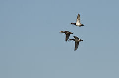 Three Ring-Necked Ducks Flying in a Blue Sky Royalty Free Stock Image