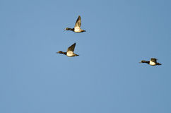 Three Ring-Necked Ducks Flying in a Blue Sky Royalty Free Stock Photo