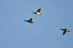 Three Ring-Necked Ducks Flying in a Blue Sky Royalty Free Stock Photography