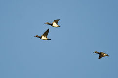 Three Ring-Necked Ducks Flying in a Blue Sky Royalty Free Stock Images