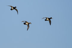 Three Ring-Necked Ducks Flying in a Blue Sky Stock Photos