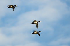Three Ring-Necked Ducks Flying in a Blue Sky Royalty Free Stock Photos