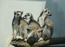 Three ring-tailed lemur catta Stock Images