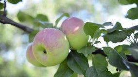 Ripe apples on tree. Three ripe apples on tree branch by summer, sliding camera movement stock video footage