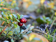 Three ripe berries of a cranberry on a Bush. Autumn in the forest royalty free stock images